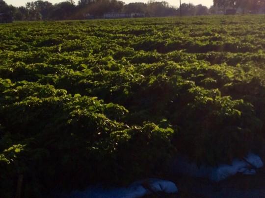 2013 Florida crop pics